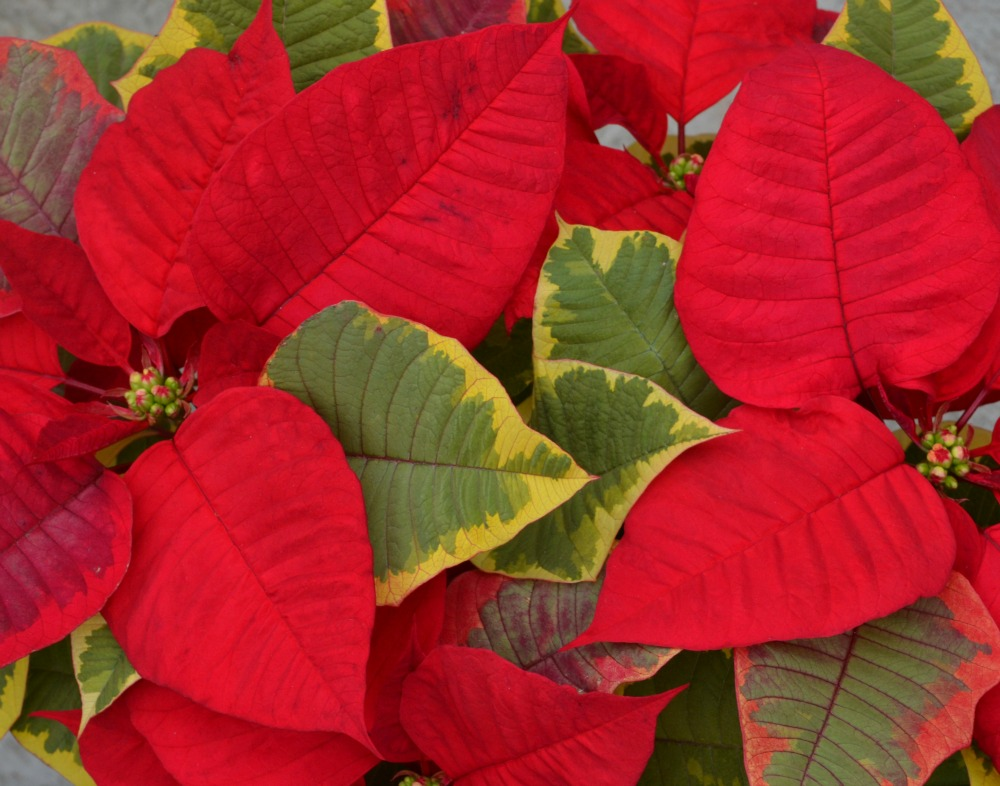 Tapestry Poinsettia