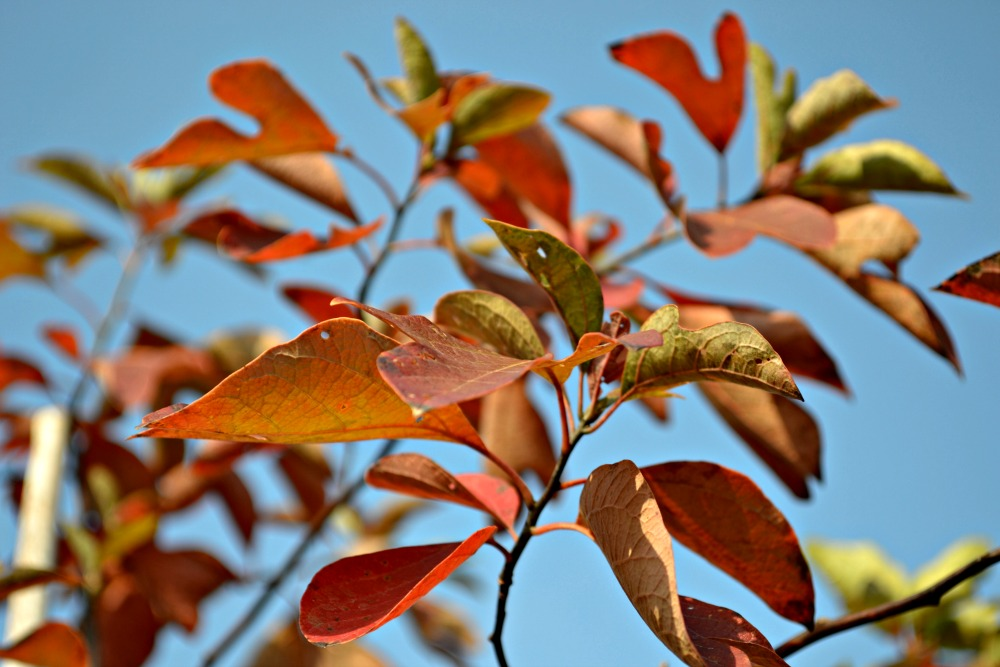 fall color crepe myrtle