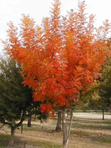 Pistacia_chinensis fall color