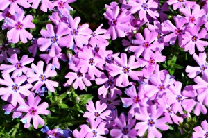 Phlox s Fort Hill - Copy