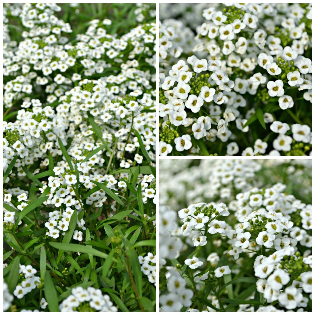 Lobularia Snow Princess web