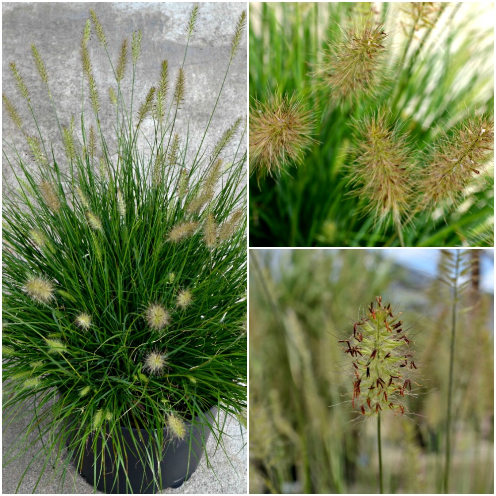 Cotton candy ornamental grass - Hameln Dwarf Fountain Grass