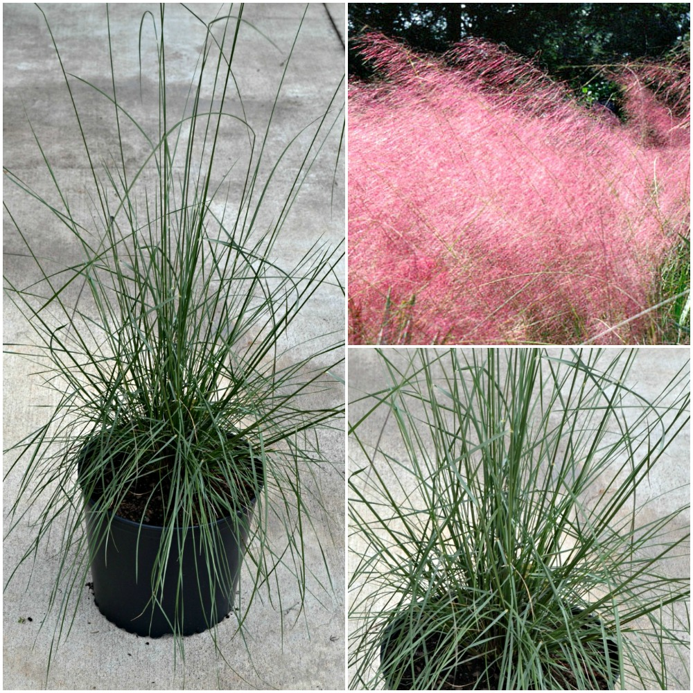 Cotton candy ornamental grass - Muhly Grass