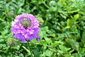 verbena homestead purple 2