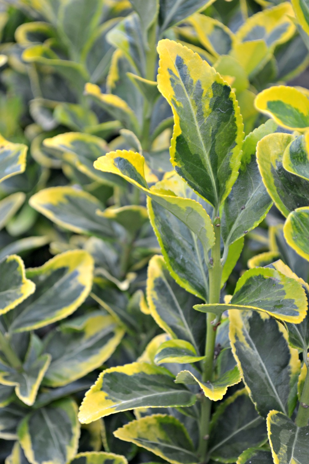 Favorite Variegated Shrubs Fairview Garden Center