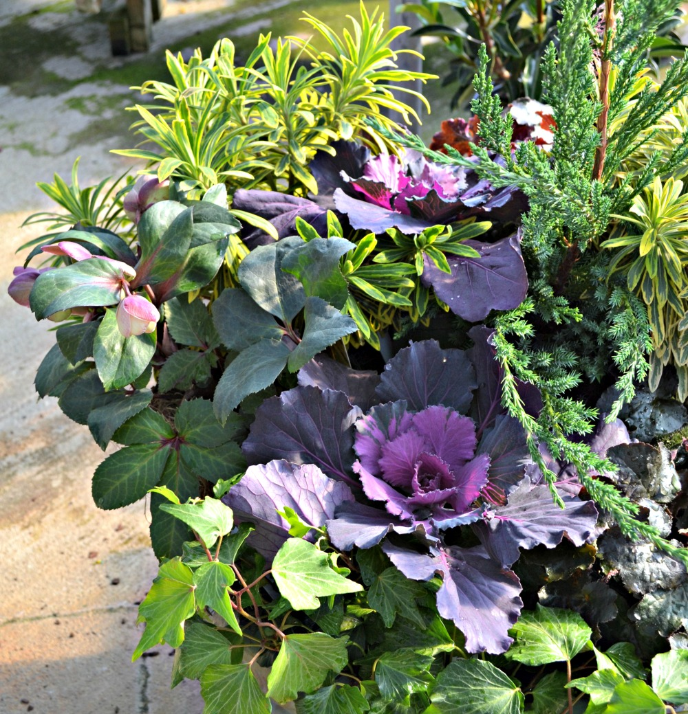 hellebore container side