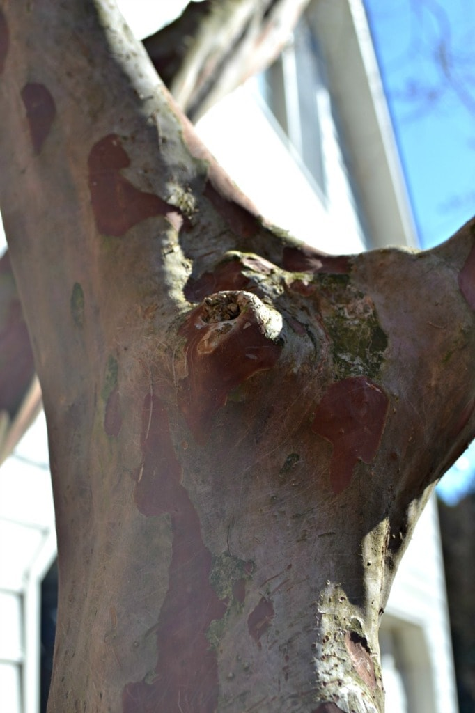 crepe myrtle healed wound good pruning