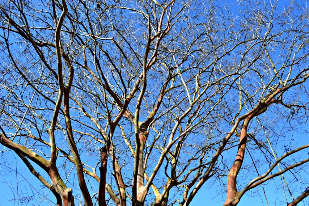crepe myrtle large branch stucture