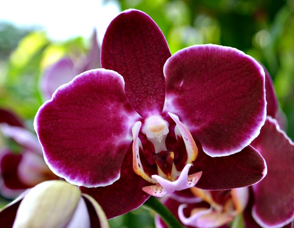 orchid wine